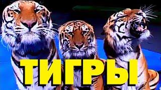 Галилео  Тигры