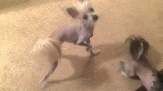 Chinese Crested Pom Mix Dog Scratching Himself Like A Weirdo