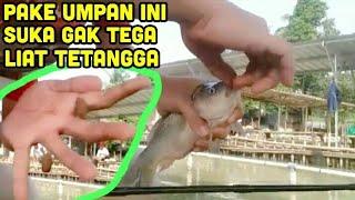 Umpan ikan mas simpel Neter Abisss !!! Suka Gak Tega Liat Tetangga