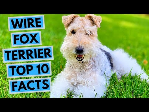 Wire Fox Terrier - TOP 10 Interesting Facts