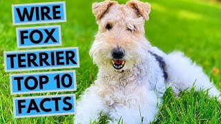 Wire Fox Terrier  TOP 10 Interesting Facts