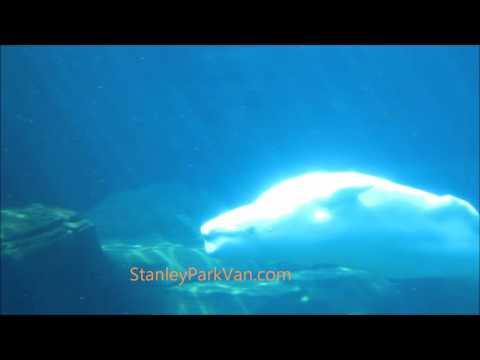 Beluga Whale Swimming In Vancouver Aquarium, Stanley Park, Vancouver, BC, Canada 00086