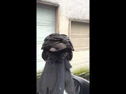 canuck the crow comes for a car ride youtube. Black Bedroom Furniture Sets. Home Design Ideas
