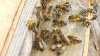 Пчёлы с обножкой