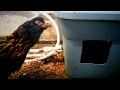Rain Barrel Chicken Waterer | Automatic and Off-grid