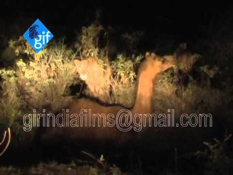 Rare and Unique incident 7 Asiatic lion group a camel hunting in kariya village near gir forest