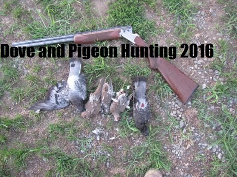 Dove and Pigeon Hunting 2016