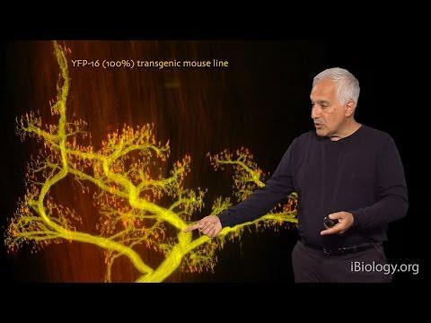 Jeff Lichtman (Harvard) Part 2: Neuromuscular Connectomics