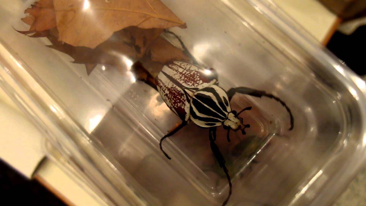 Goliathus Goliatus Var Conspersus Goliath Beetle Goliathkäfer
