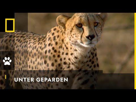 Unter Geparden | BIG CAT JANUAR | NAT GEO WILD