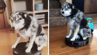 Dog Rides On Robot Vacuum