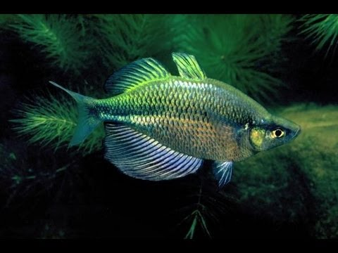New Rainbowfish Emerald Madagascar Dwarf Neon Youtube