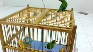Burung Cucak Hijau