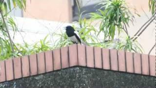 鵲鴝的歌聲 Oriental Magpie-Robin