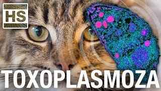 Toxoplasmoza - Atractia fatala intre soareci si pisici