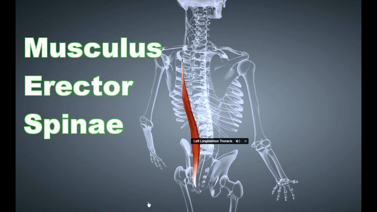 M. Erector Spinae Rückenstrecker: Ansatz, Ursprung, Funktion ...