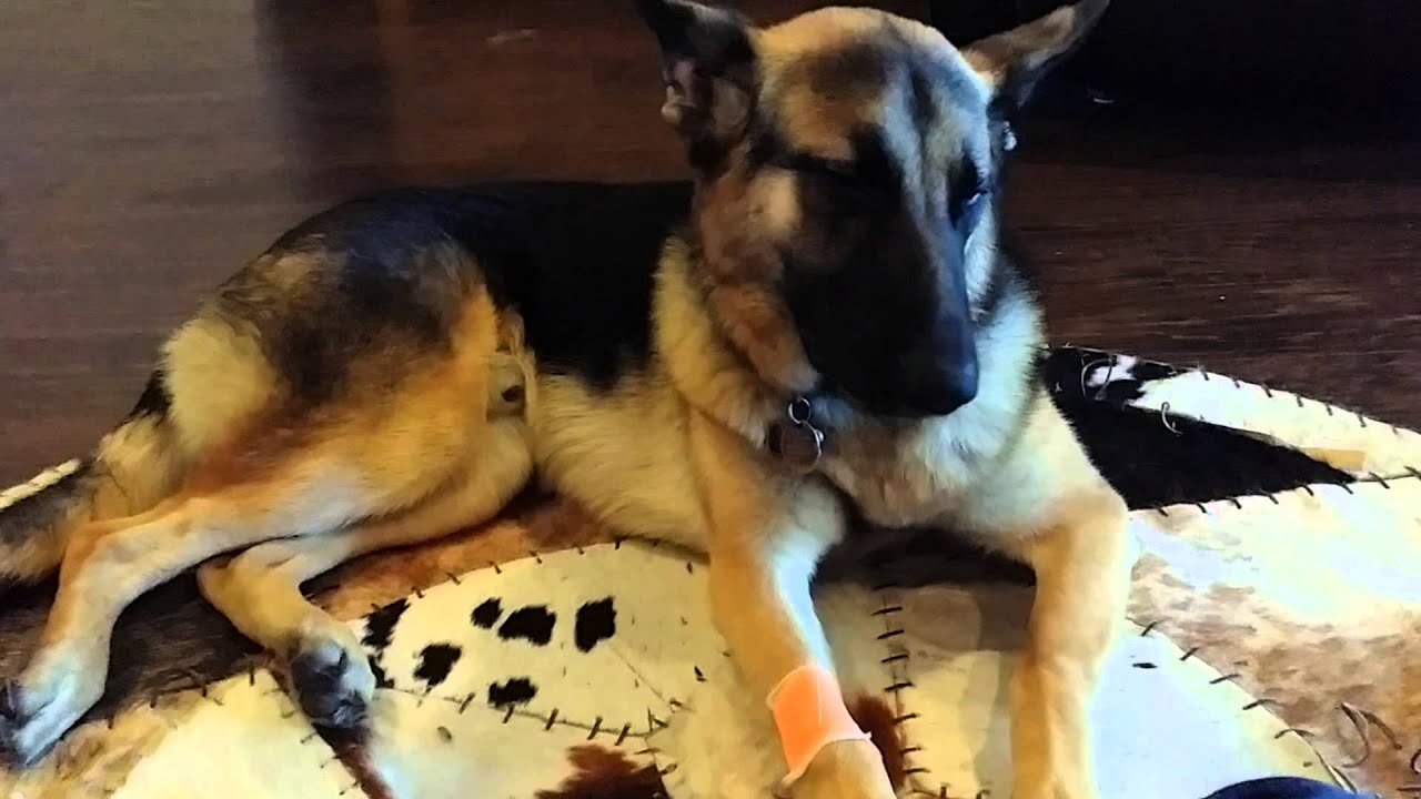 german shepherd neutering german shepherd sad after getting neutered youtube 1473