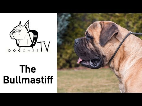 A Bullmastiff kutya fajta - DogCast TV S02E04