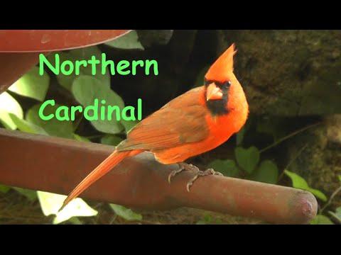 Beautiful Northern Cardinal