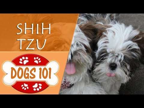Dogs 101 - SHIH TZU - Top Dog Facts About the SHIH TZU