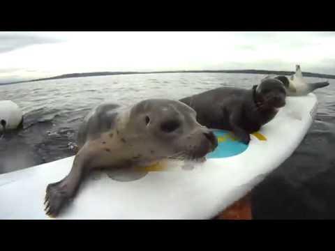 Забавные тюлени резвятся перед камерой