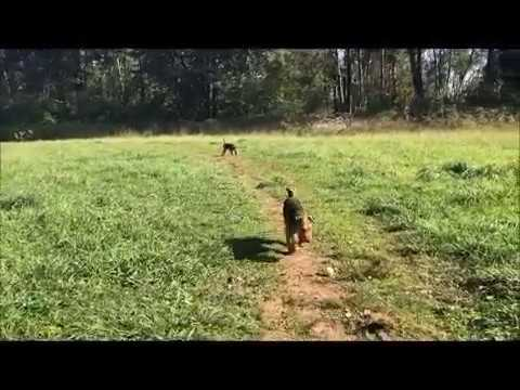 Playing fetch with a couple of Welsh Terriers