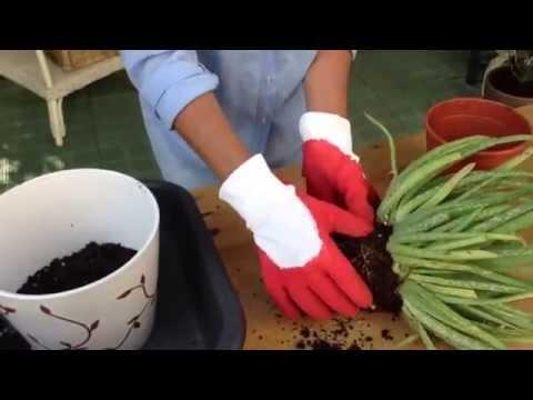 Como plantar plantas de aloe vera youtube - Variedades de aloe vera ...