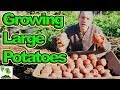 Growing Large Potatoes | All The Tips You Need