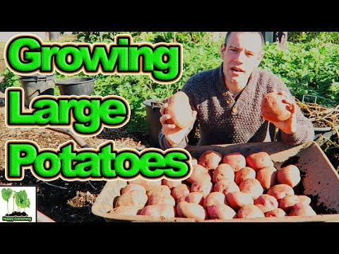 Growing Potatoes - All The Tips You Need