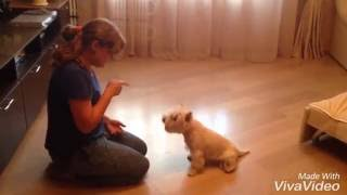 Вест Хайленд Уайт Терьер дрессировка. 14 месяцев.  West highland white terrier training. 14 mounth.