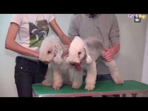 Собака бедлингтон-терьер: изящная овечка