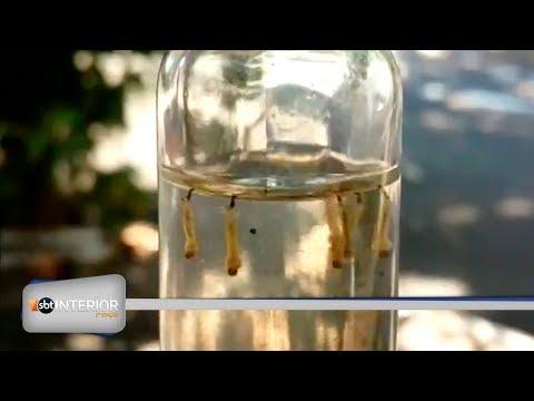Índice de larvas do aedes aegypti é recorde em Rio Preto