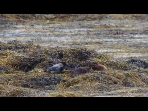 Hooded Crow disturbs Eurasian Otter on the Isle of Mull