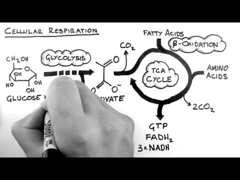 Cellular Respiration 1 - Overview