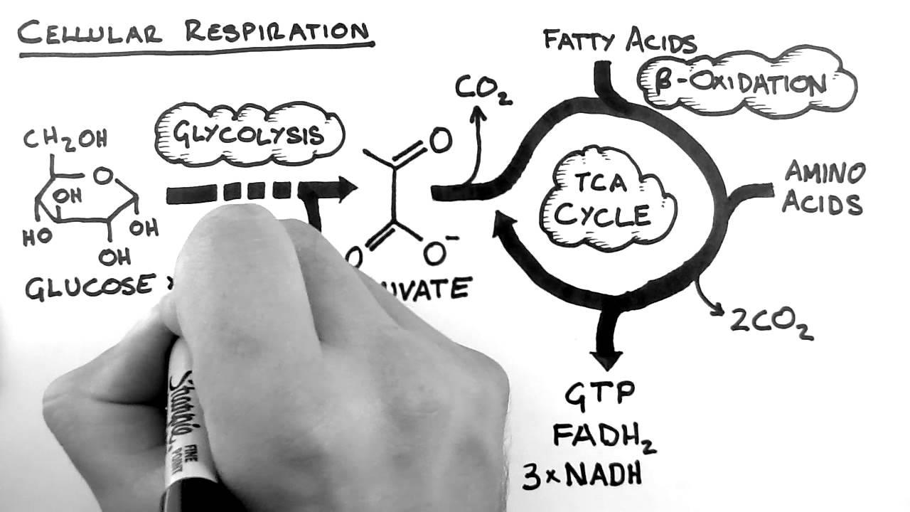 cellular respiration animation