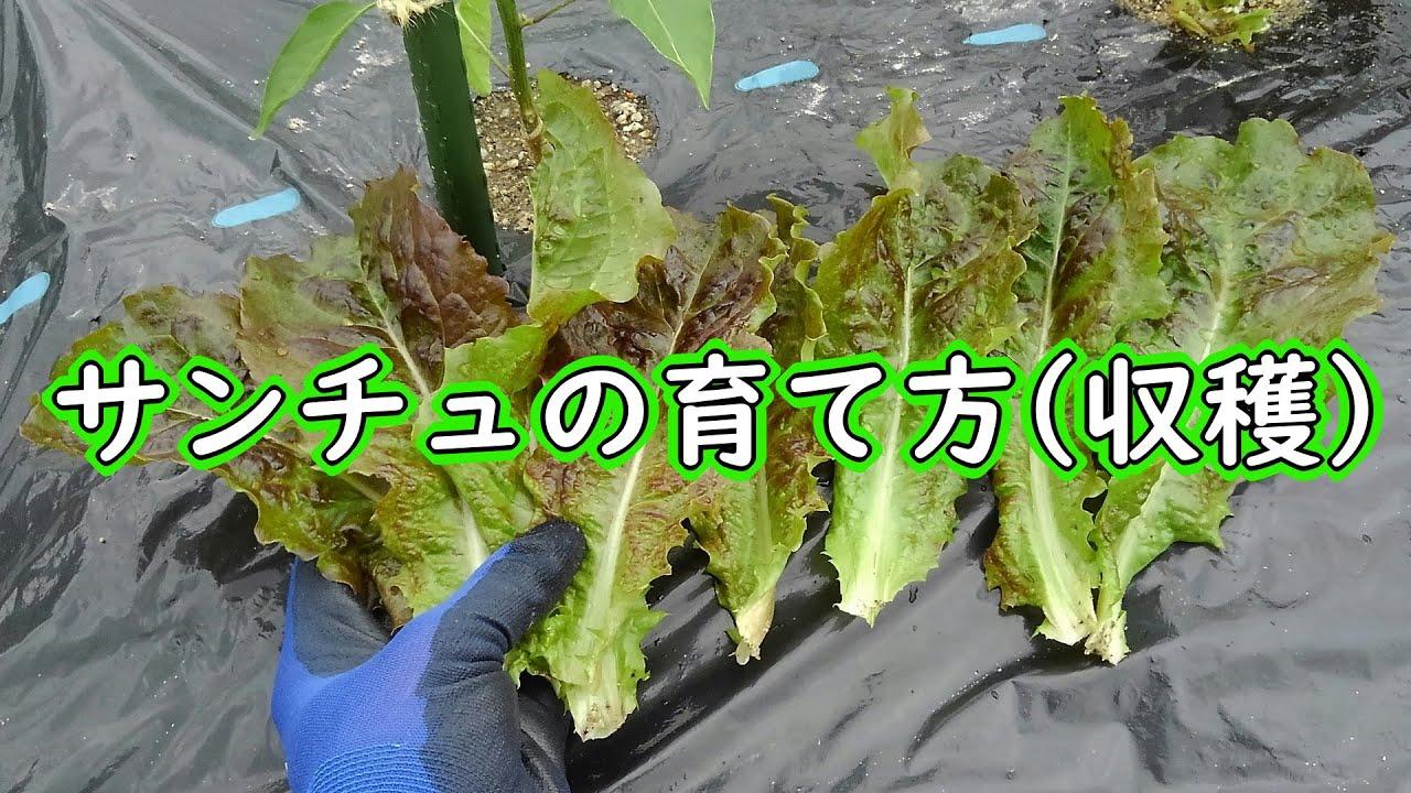 サンチュ 栽培