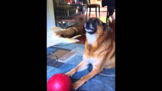 German Shepherd Dog Howls To Fire Truck Siren Sound