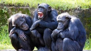 Chimp Gets Addicted to Porn
