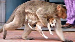 Обезьяна похитила щенка на улице и убежала. Никто не мог понять причину этого поступка