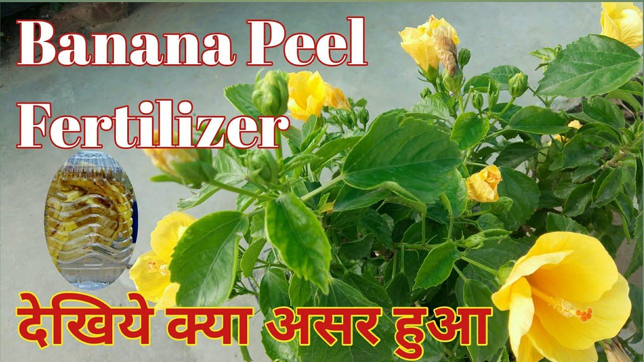 291 Banana Peel Fertilizer On Hibiscus Benefits Of Peel