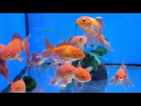 Pets At Home - Aquarium Fish Shopping