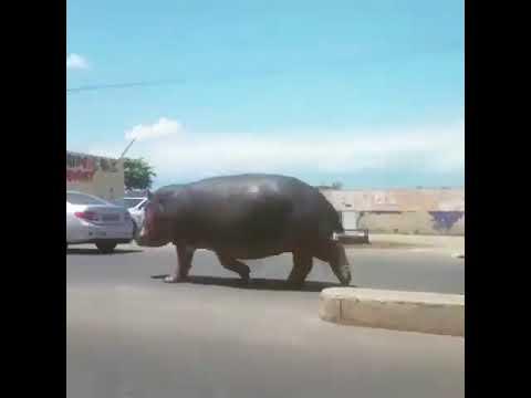BURUNDI VERY BIG HIPPO WALKING IN CITY!!!