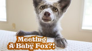 Meeting The New Foxes For The First Time