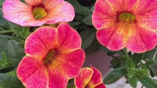 The best flowers for hanging baskets