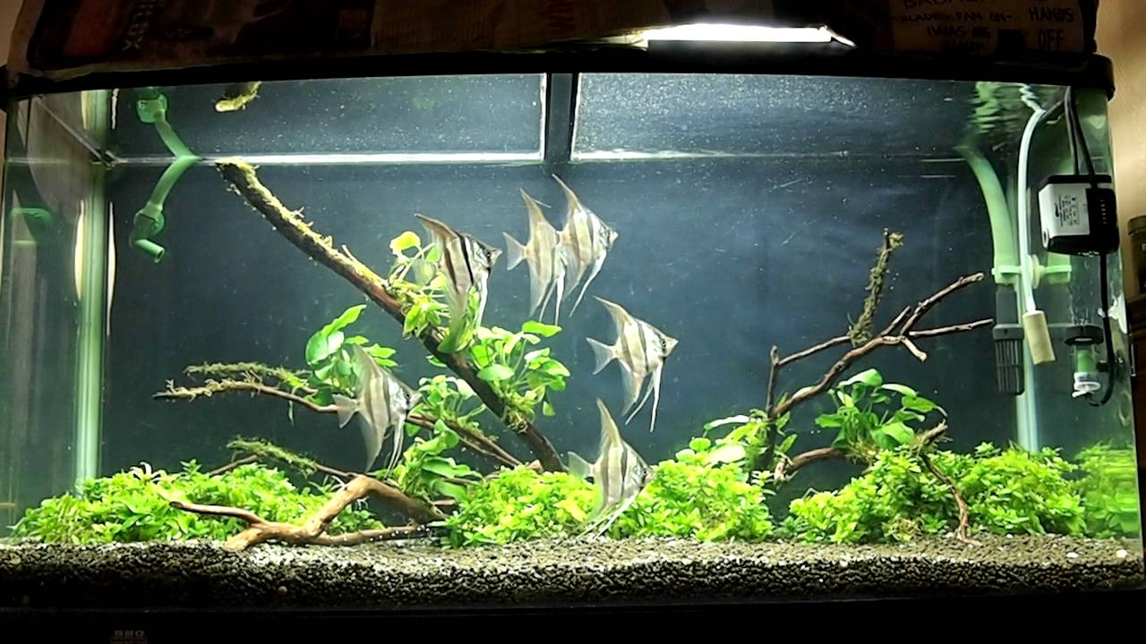 My planted aquarium with wild altum angel fish youtube for Planted tank fish