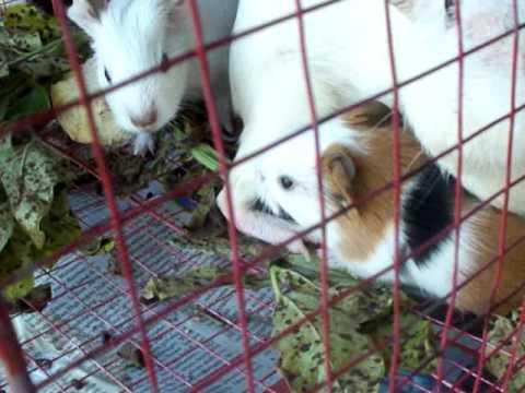 Guinea pigs caged in Yogyakarta Bird Market