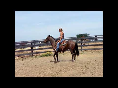AQHA BAY ROAN GELDING ANYONE CAN RIDE, FINISHED RANCH HORSE, VERY WELL BROKE, BEGINNER SAFE
