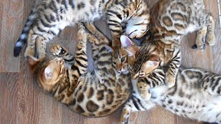 These Little Leopard kittens are so playful