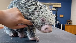 Porcupine Loves To Get Pet