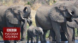 Как выглядит крупнейшее в истории переселение слонов